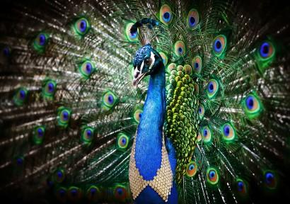 peacock-copy.jpg